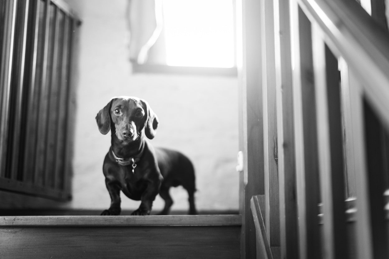 Dachsund at The Barn at Brynich