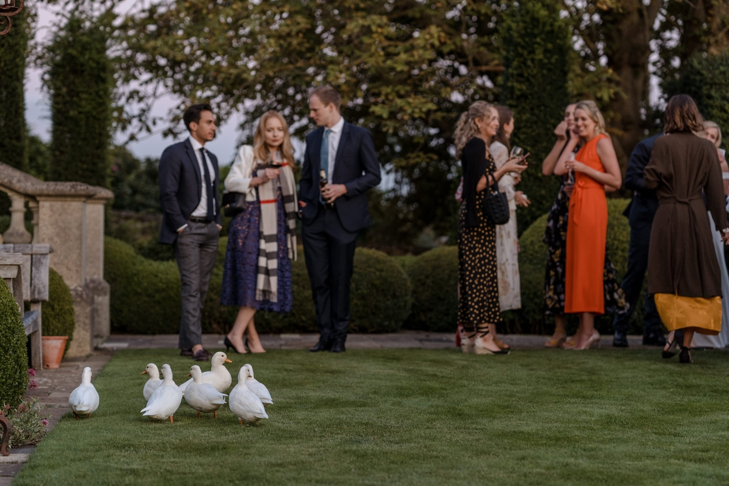 Ducks with wedding guests